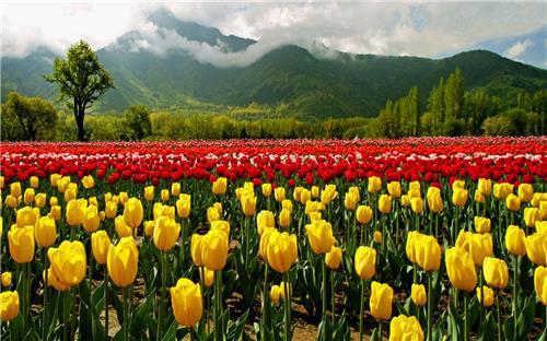 Tulip Festival in Srinagar