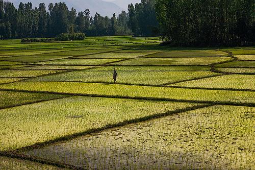 Farmland around Awantipora