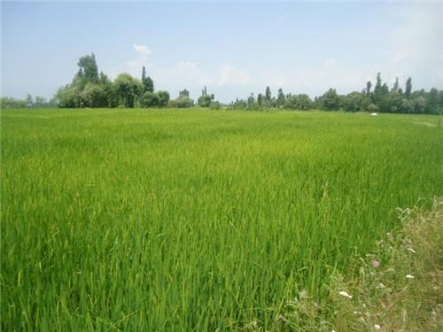 Budgam with Its Lush Geen Fields