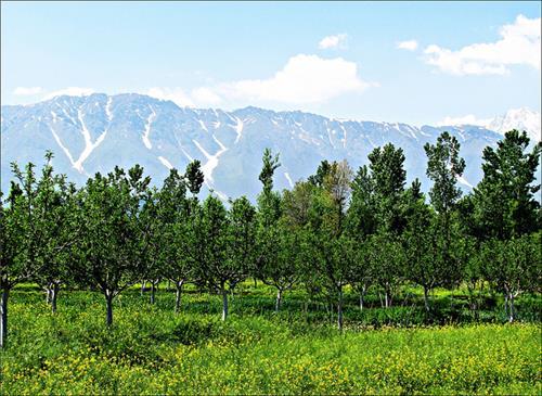 apple Orchards near Duru Verinag