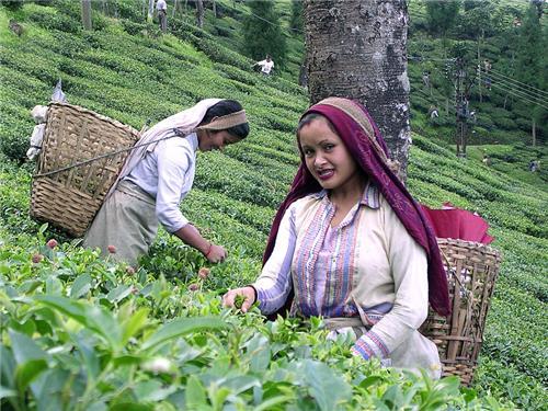 Tea Plucking in Gulmarg