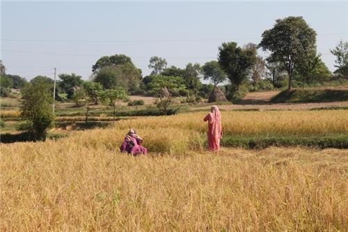 Women Working in Paddy Field