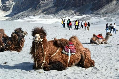 Bactrian Camels in Leh