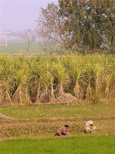 Rice field in R S Pora