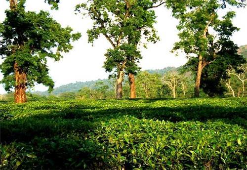 Tea Garden Jorhat