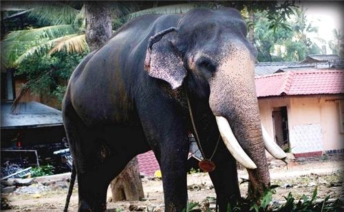 Elephant Facts Kerala