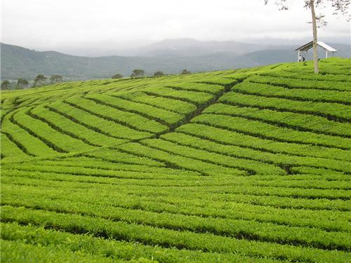 Vandiperiyar Tea Plantations