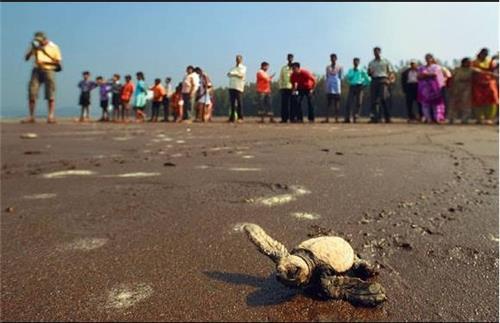 Konkan Turtle Festival