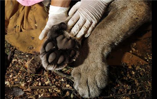 Mountain Lion Paw in Manali