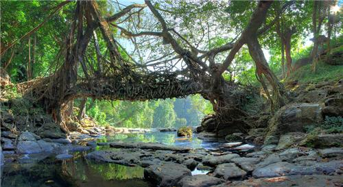 Root bridges in Cherapunjee