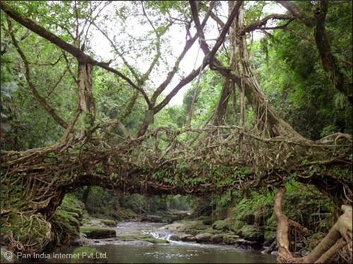Living Root Bridge of Cherrapunji, Meghalaya