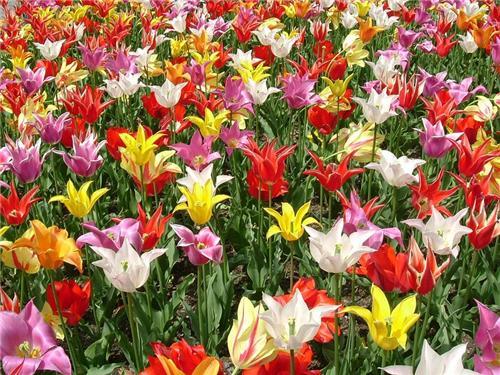 Tulips in Indira Gandhi Memorial Botanical Garden