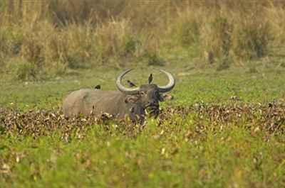 Asiatic buffalo