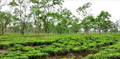 Tinsukia tea industry