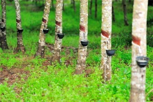 Rubber Plantation Tripura