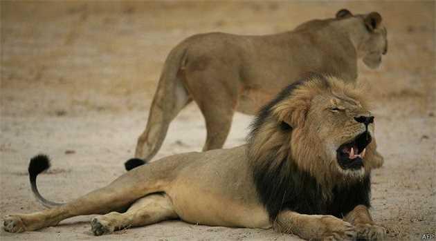 150728175529_zimbabwe_cecil_lion_fp