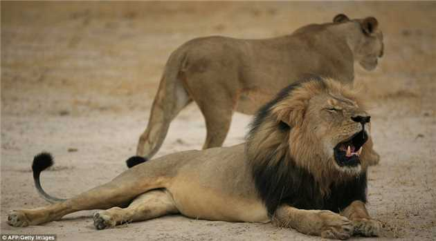 Zimbabwe Safari Businesses and Charities Suffer From 'Cecil' Effect