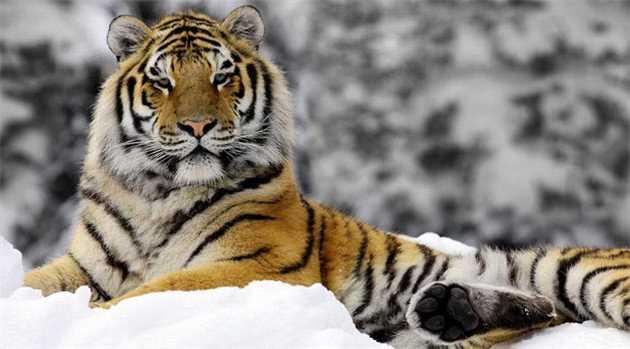 siberian-tiger-china-HINDI-4-1-16