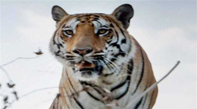 tiger-110316