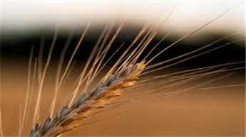 New gene discovery could improve wheat production