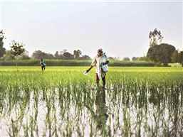 Crop-guzzling insect may cost Indian farmers billions, warns UN