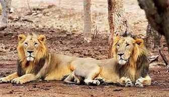 Centre launches dedicated Asiatic Lion Conservation Project