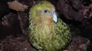 Kakapow! Rare world's fattest parrot has record breeding season