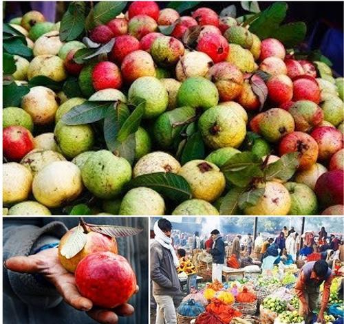 Guava Variety Allahabad