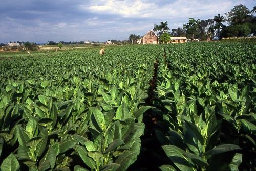 Ongole Tobacco Fields