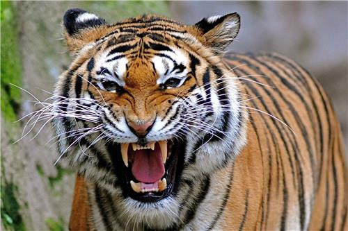 Project Tiger in Namdapha National Park