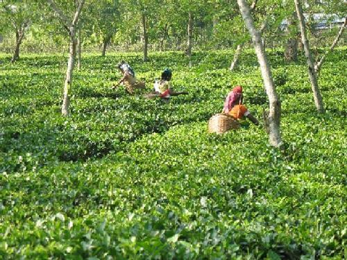 tea garden in Assam