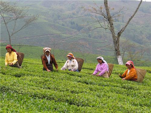 Assam Tea Pluckers