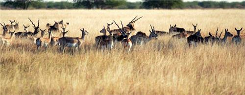 Attractions of Blackbuck National Park in Bhavnagar