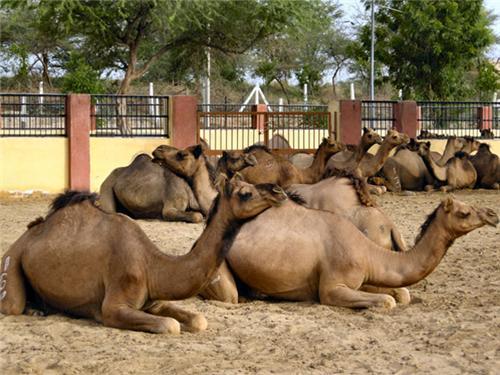 Camel Researh Farm in Bikaner