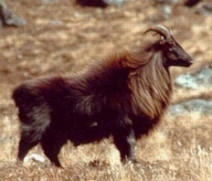 Himalayan Tahr in Kugti Sanctuary