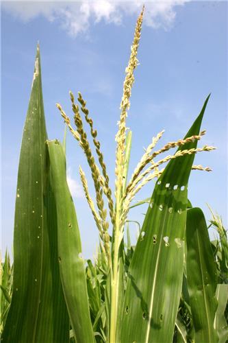 Minjar or Maize Flower