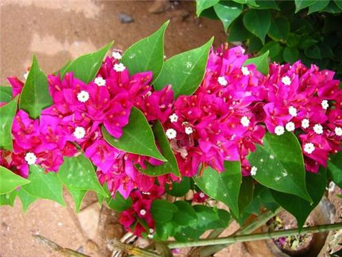 Bougainvillea Garden in Chandigarh