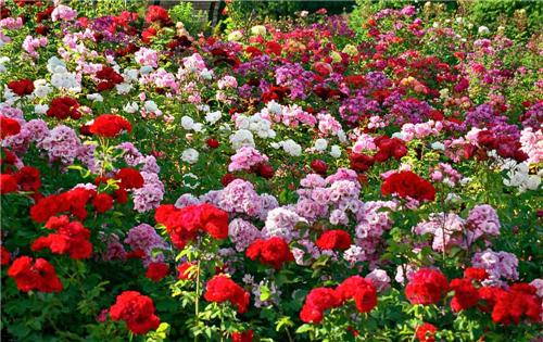 Magnificient Roses at the Rose Garden in Chandigarh