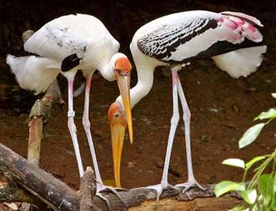Bird watching in Kokkare-Belluru-in-Bangalore