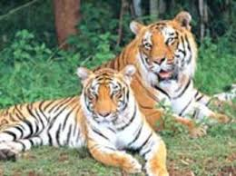 Tigers resting in Bannerghatta Biological Park