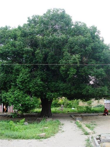Mazhila maram Tirupattur Temple