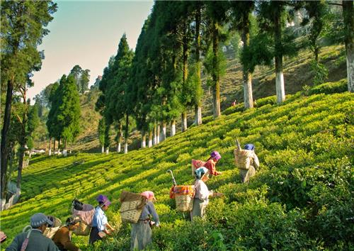 Mesmerizing Location of Glenburn Tea Estate in Darjeeling