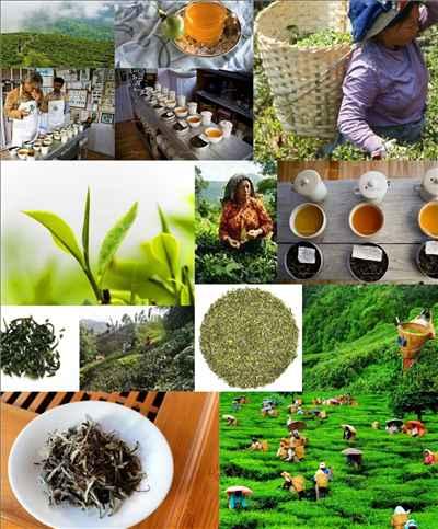 Makaibari Tea