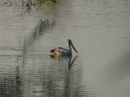 Pelican at Vellode Sanctuary