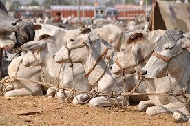 Cattle-fair