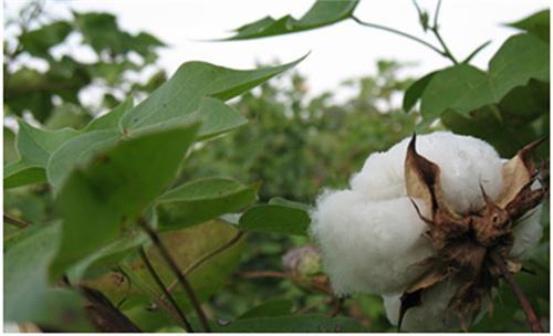 Cotton in Gujarat