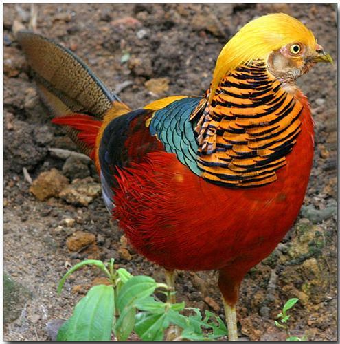 Red Pheasant in Himachal Pradesh