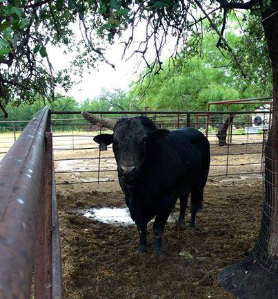 Bull Care