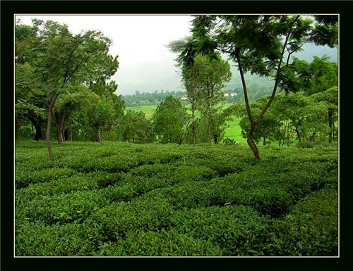 History of Tea Industry in Kangra