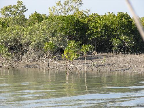 Mangrove Forests in Marine National Park Jamnagar
